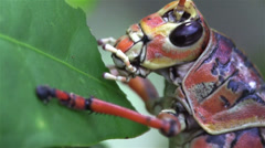 Extreme close up of a lubber grasshopper locust eating a green leaf. - stock footage