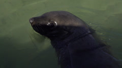 Cape Fur Seal dives in slomo Stock Footage