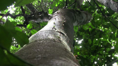 Leafcutter ants move leaves across a tree branch. Stock Footage