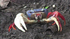 A land crab approaches. Stock Footage