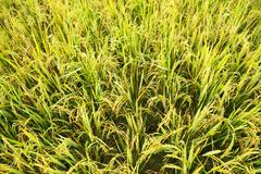 close-up green rice field - stock photo