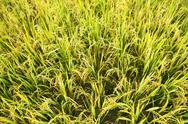 Stock Photo of close-up green rice field
