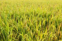 close-up rice field - stock photo