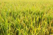 Stock Photo of close-up rice field