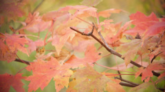 Amber foliage leaves - stock footage