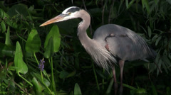 A great blue heron feeds in a marshland. Stock Footage