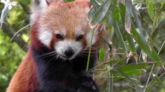 Red Panda - stock footage