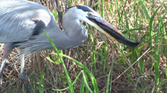 A great blue heron feeds in a marshland. - stock footage