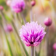 closeup of flowering chives - stock photo