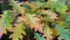 Green and yellow oak foliage Stock Footage