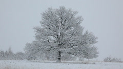 Winter landscape: naked oak tree in a snowfield during an heavy snowfall. - stock footage