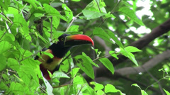 A aracari toucan bird sits in a tree eating berries. Stock Footage