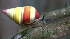 A tree snail moves along a branch. Stock Footage