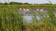 Stock Video Footage of Greater Flamingos in Camargue park, south France, Europe.