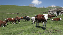 Grazing cow on a mountain meadow - HD1080P by Canon 5DMkII - stock footage