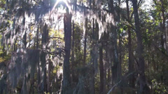 A POV shot traveling through a swamp in the Everglades showing Spanish moss - stock footage