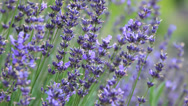 Stock Video Footage of Close up of violet lavenders flowers with bees and butterfly flying around.