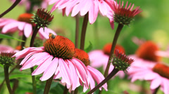 Close up of great flowers Echinacea with bees and butterfly flying around Stock Footage