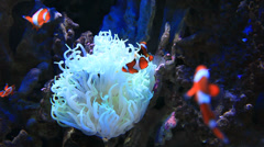 Clownfish and anemone in aquarium - HD1080P by Canon 5DmkII Stock Footage