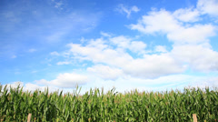 Corn field over a clear blue sky - HD1080P by Canon 5DmkII - stock footage