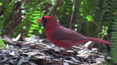 A red cardinal bird sits on a tree branch. Stock Footage