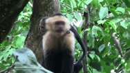 Stock Video Footage of A capuchin monkey sits on a tree branch in Costa Rica.