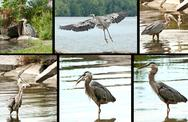Stock Photo of great blue heron montage
