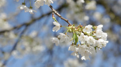 Blossoming cherry tree in springtime, swaying in the wind. HD1080p by Canon Stock Footage