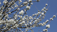 Stock Video Footage of Blossoming cherry tree in springtime, swaying in the wind. HD1080p by Canon