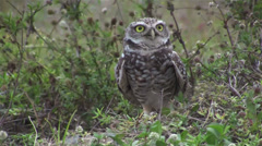 A burrowing owl looks around. Stock Footage