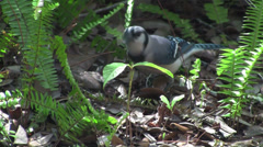 A blue jay forages on the forest floor. Stock Footage
