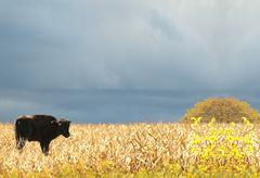 Nuori amerikkalainen biisoni, amerikkalainen biisoni Kuvituskuvat