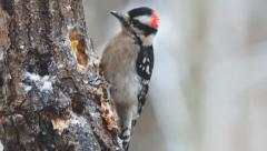 Downy Woodpecker Stock Footage