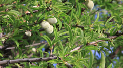 Argan nuts on tree. Concept for healthy culinary oil, massage oil, and Stock Footage