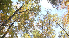 Autumn: panning view from ground on trees in forest , fall season - Canon 5D Stock Footage