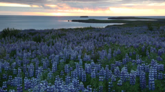 Lupine field next to the ocean. In background the midnight sun. Husavik, Iceland Stock Footage