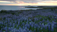 Stock Video Footage of Lupine field next to the ocean. In background the midnight sun. Husavik, Iceland