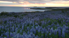 Lupin field next to the ocean and midnight sun. Husavik, Iceland - stock footage