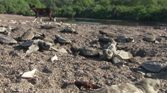 A dog walks nearby as baby sea turtles struggle down the beach. - stock footage