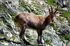 alpine ibex (capra ibex) - stock photo