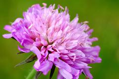 Close up of red clover flower Stock Photos