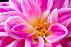 flower dahlia - stock photo