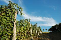 Stock Photo of vineyards panorama