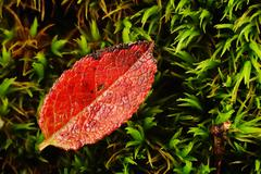 a small red leaf on a green mush bed - stock photo