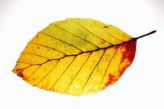 beech leaf - stock photo