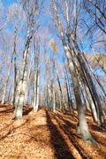 mountain beech woods during fall season - stock photo