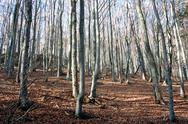 Stock Photo of mountain beech woods during fall season