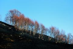 Stock Photo of woods fire damage: white birch over dark burned meadows