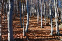 mountain beech woods during fall season; horizontal orientation - stock photo
