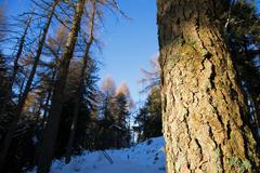 Stock Photo of pine trunk details, winter season